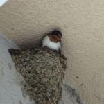 ツバメが巣を作りました